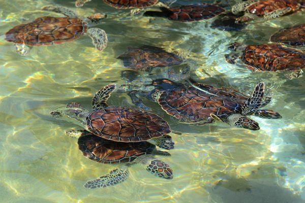群れで泳ぐウミガメ