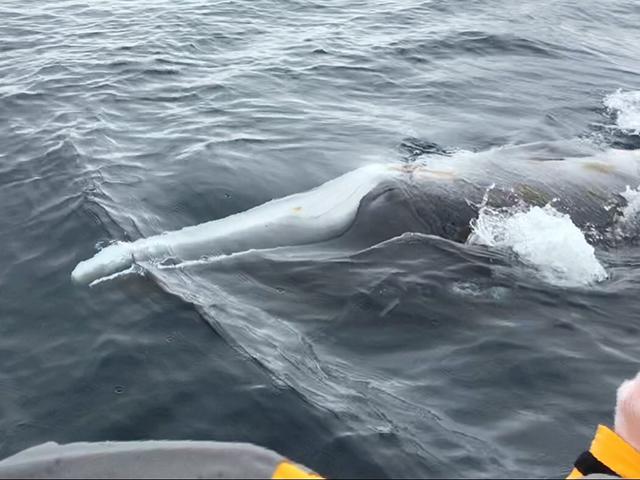 オーシャン・エンデバー南極探検 ミンククジラ!